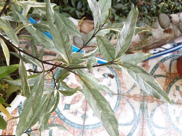 Часть куста растения, привезённого с острова Бали