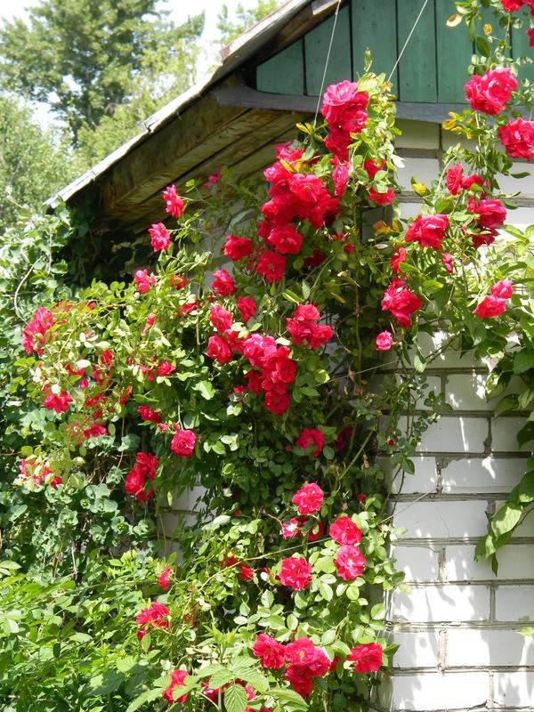 Когда можно сажать розу плетистую 458