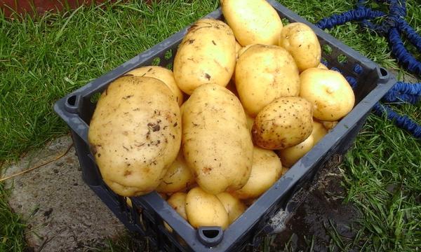 картоша