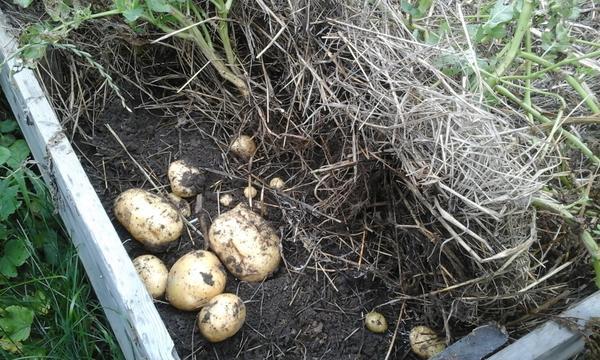 выращивание картошки под сеном
