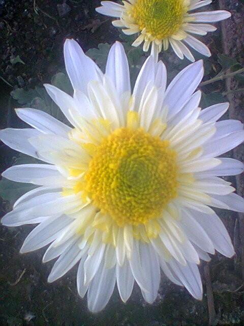 Веточная хризантема, помогите определить название.