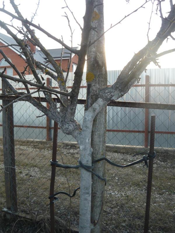 Впереди прививка, сзади - дерево рябины