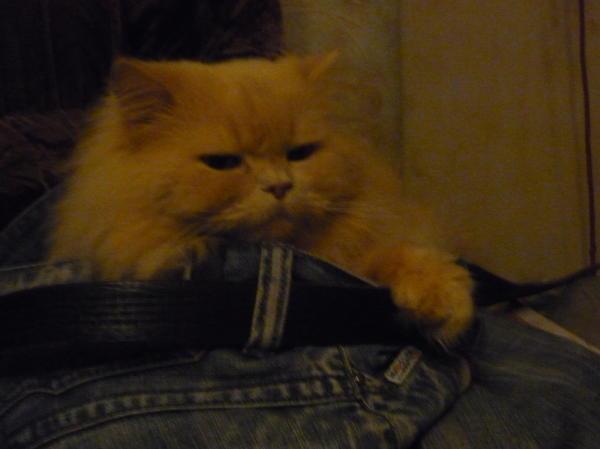 это кот длинношерстный британец
