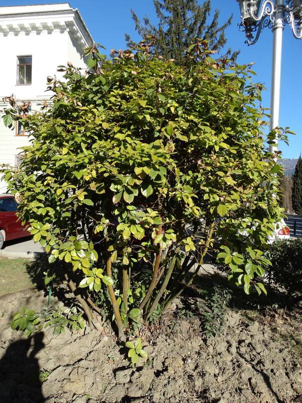 кустарник или дерево