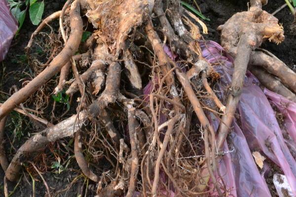 корень пиона, пораженный болезнью или грибком?