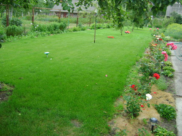 мой газон, а розы под мульчей...