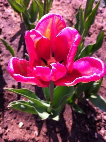 Еще тюльпан