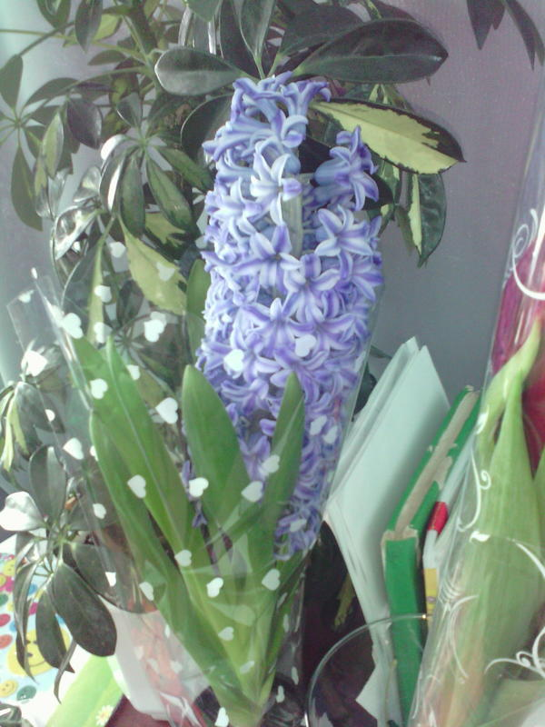 Какой цветок за гиацинтом