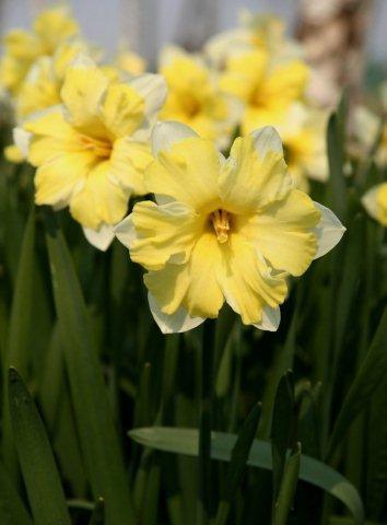 Сорт Pretty in Yellow_DSCN4731_1