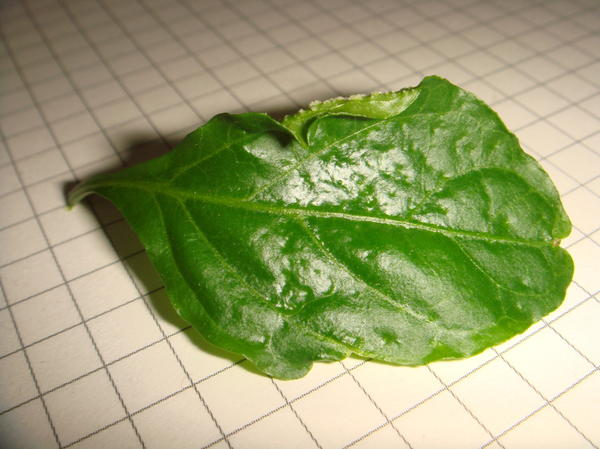 а так выглядит пораженный лист с внешней стороны