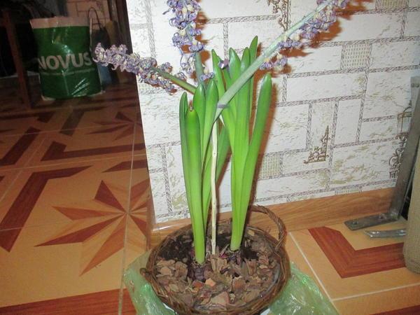Отцветающий сиреневый гиацинт