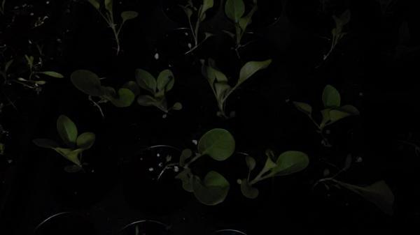 Этот цветок. Завтра добавлю фото при дневном свете, а не электрическом.