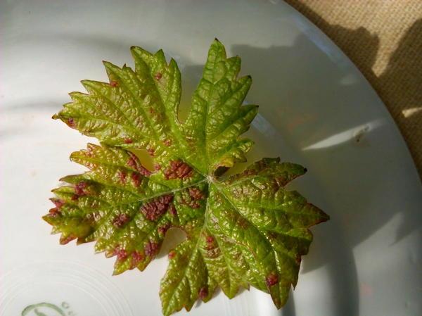 Лист винограда .