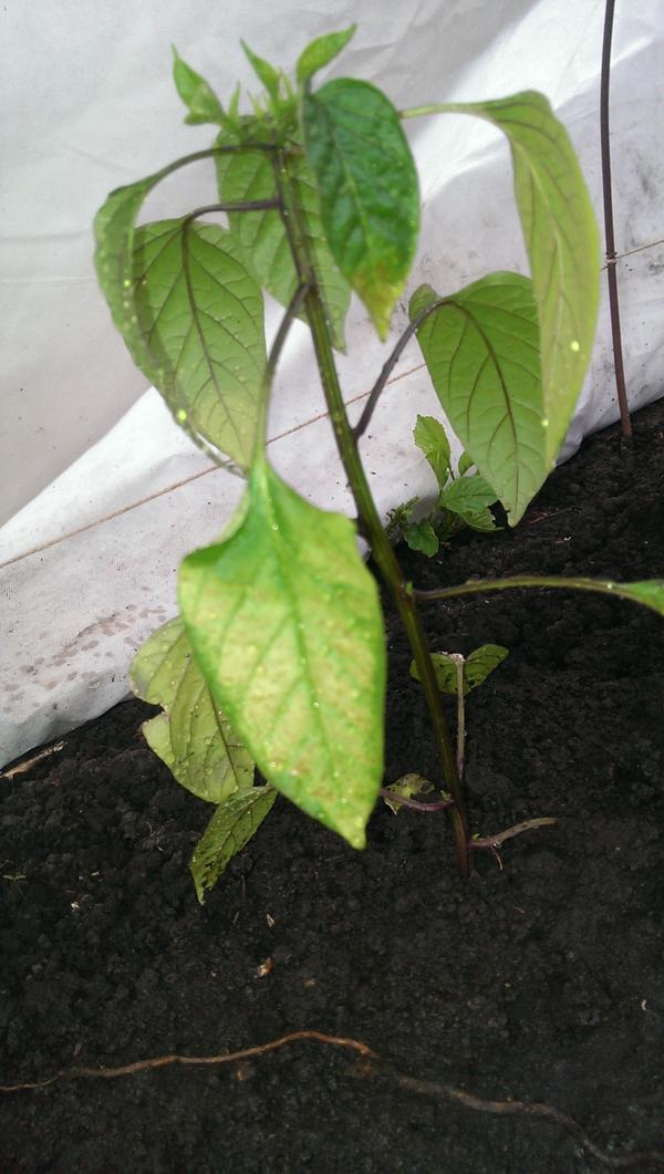 На 5 день листья начали белеть