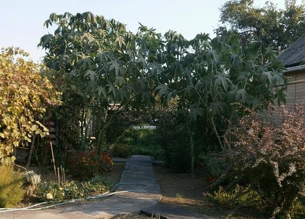 Клещевина (Рай-дерево).