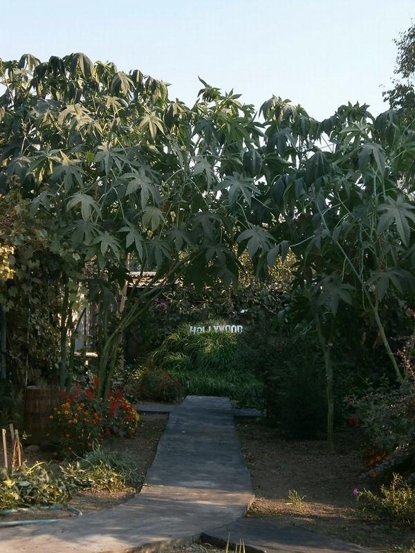 Клещевина (Рай-дерево)