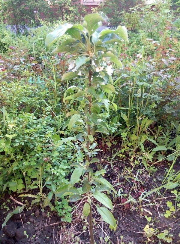 Мы посадили в позапрошлом году (2014) высотой 52 см. Сорт осенний, название забыла. В прошлом году не цвела, сейчас сходила в огород сфотографировала.  Выросла см на 5-6. Несколько цветочков, обрывать, наверное, не буду. У моей соседки в прошлом году было три цветочка, а в этом 12. У неё летний сорт, прозрачные на солнце и очень вкусные (со слов соседки).