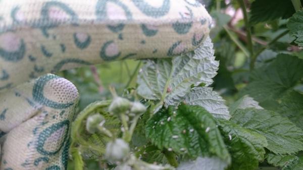 белые личинки на малине