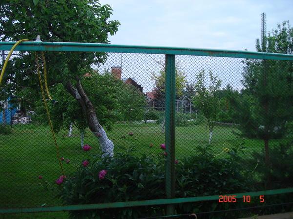 Вид на сад пионы, сосны, ели по краю