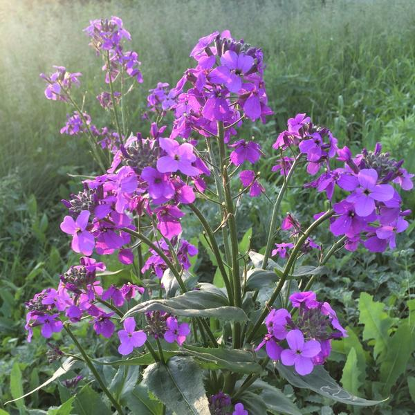Подскажите название этого цветка ? Растёт вдоль дороги.