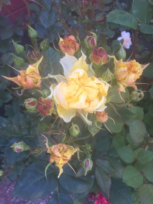 Здравствуйте уважаемые эксперты я не могу разобрать что за болезнь у моих роз и как с ней бороться помогите пожалуйста