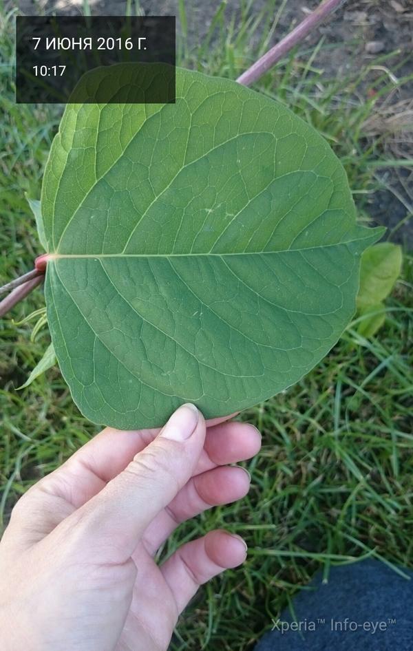 Растет кустом, чем больше стрижек тем гуще листва, высота около 2 метров