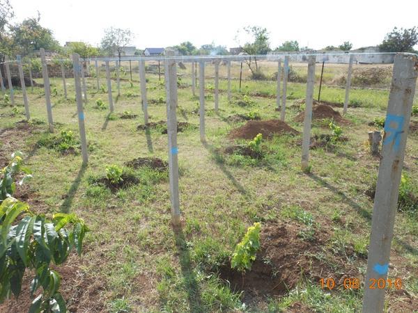 виноградник июнь 2016 крым