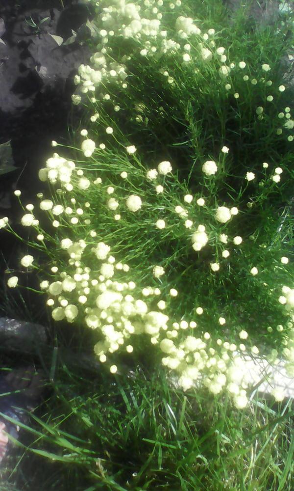 подскажите, что за растение. Очень сильный запах от всего растения даже в сухом виде.