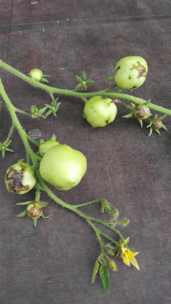 Пораженный помидор