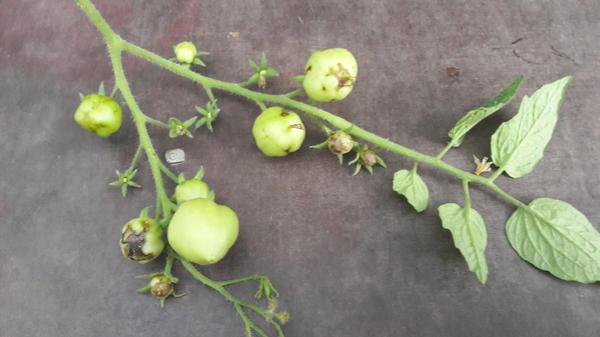 Пораженный помидор 2