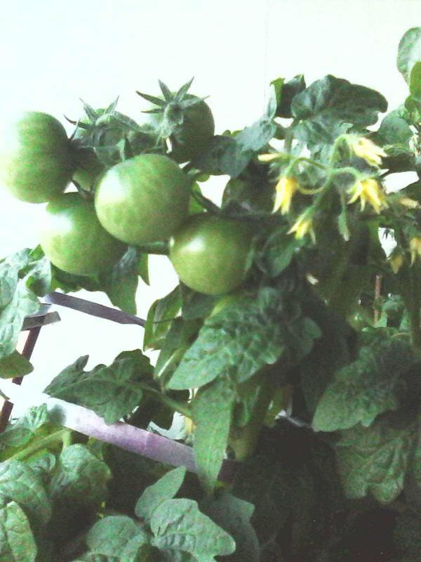 И так с весны..одни спеют..другие опять появляются помидорки..