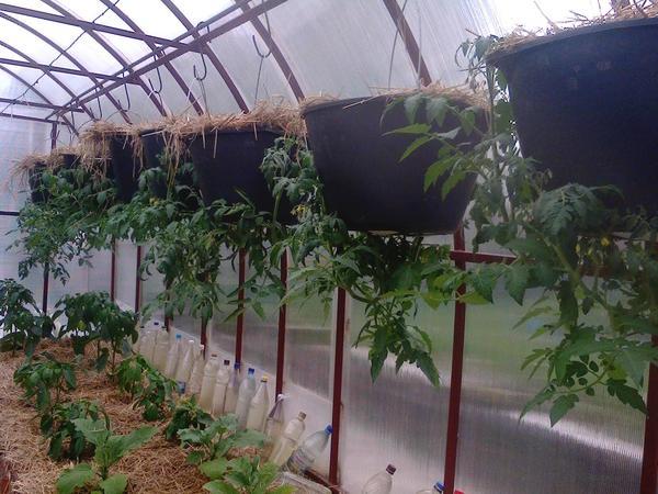помидоры вверх ногами через неделю после посадки