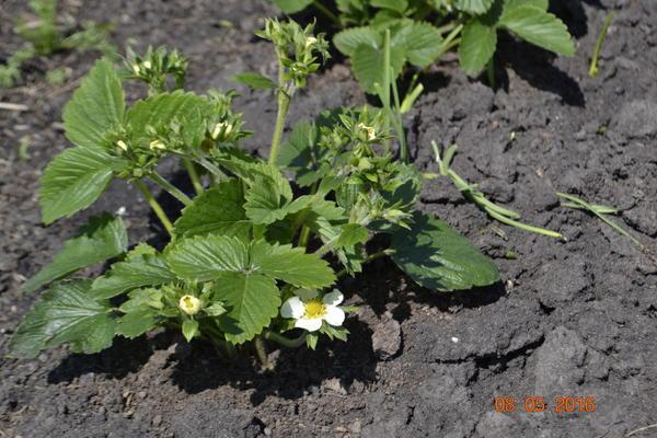 Так хорошо они цвели и дали хороший урожай,а затем личинки майского жука все испортили.