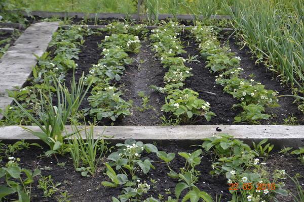 Вот плантация клубники,правда урожай успели собрать,но затем вся плантация пропала,перекопал,собрал в ручную личинок, обработал суперфосфотом,посадил