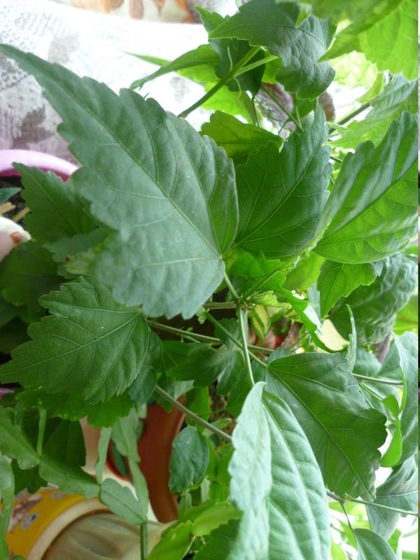 Вот такие у него листья