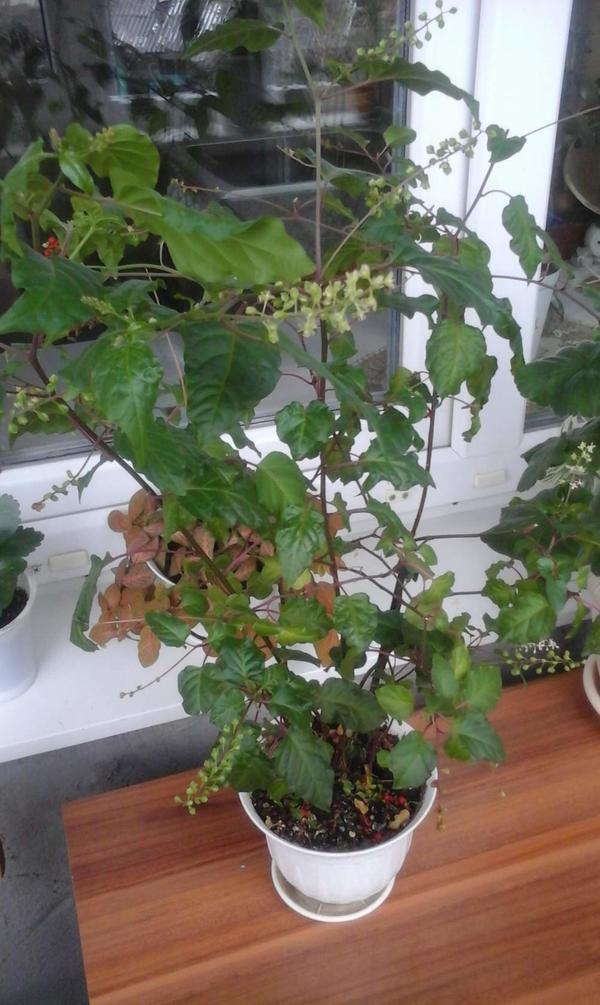 взрослое растение, привезено с алтая.