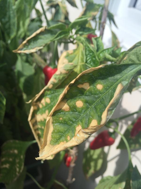 перец огонек сохнут листья