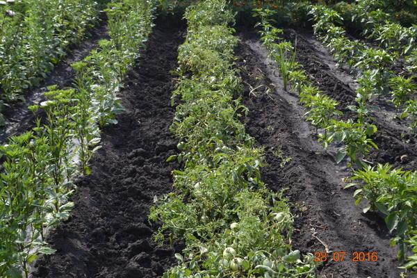 А эти помидоры выращены в луке,после уборки лука помидоры окучивал и не поливаю.