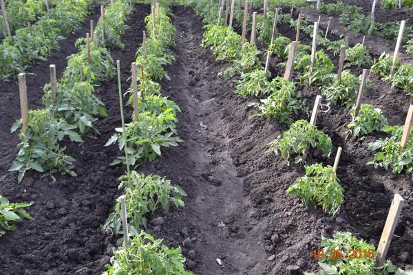 А это фото,те же помидоры,что выше фото.Пока рассада маленькая поливаю в бороздку до завязи.Как появляются плоды прекращаю полив.