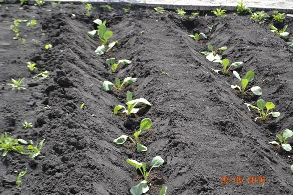 Вот капуста посажена в бороздку и поливаю по бороздке,по мере роста капусту окучиваю и бугорок между капустой превращается в бороздку.