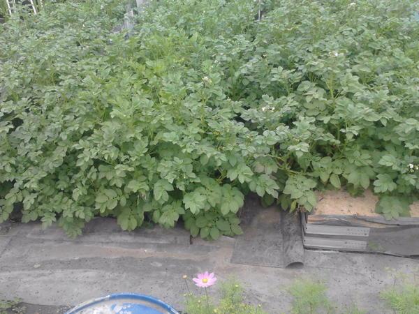 Картошка. Кстати на каком-то сайте прочитала по посадку картошки рассадой. Посадила картофелины в воронки от пласт. бутылок, полила и воткнула в середине апреля в теплицу.