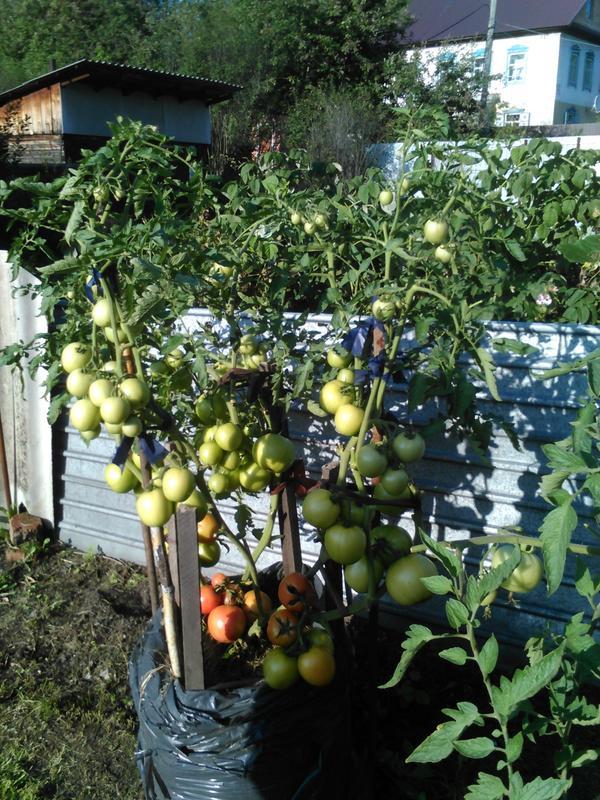 томаты : золотое малиновое чудо, малиновая мечта
