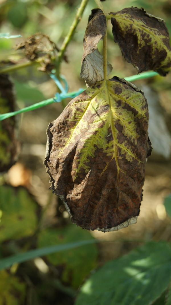 пораженные листья