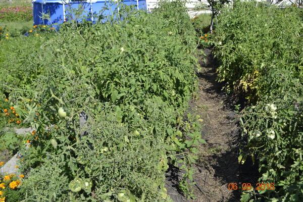 Вот помидоры,как хорошо растут.