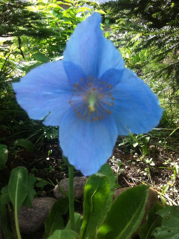 Вот так у меня он цвел в этом году, всего один цветок