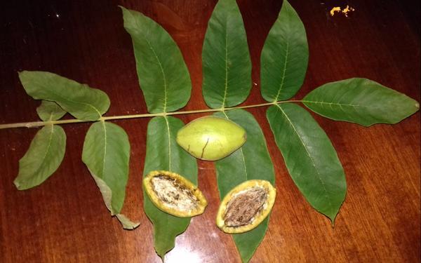 Лист и плоды