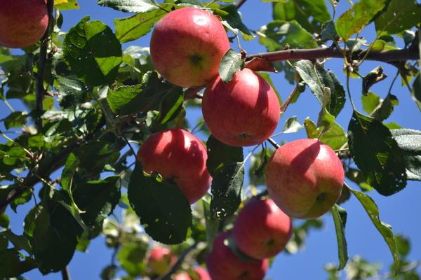 Яблоки сорта Приземленное
