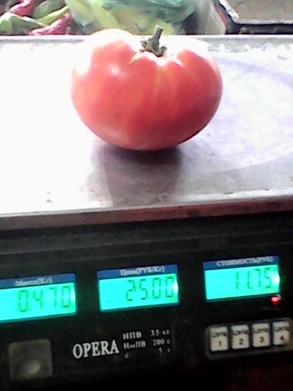 помидор малиновый Багатырь