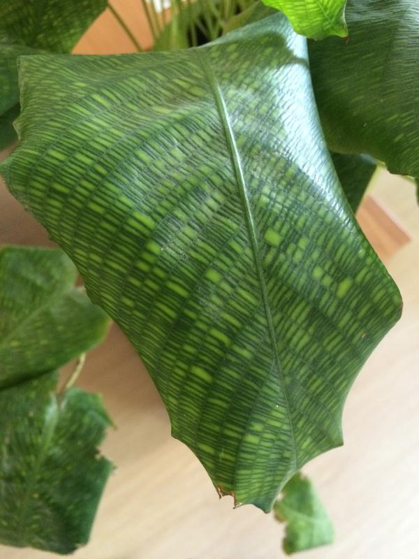 Окрас, листья напоминают ткань и многие клиенты спрашивают-это искусственный цветок?