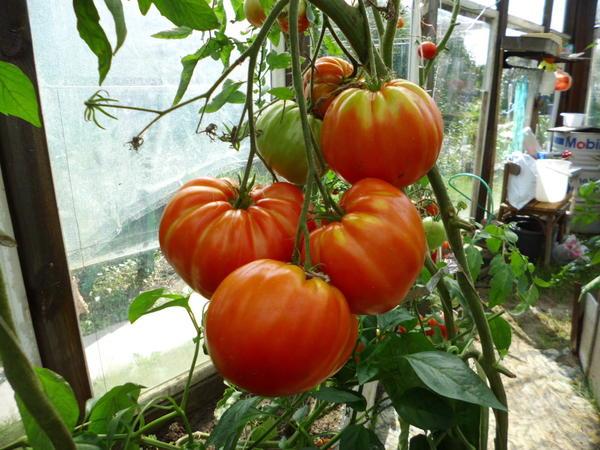 фото других томатов